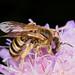 Halictus (Hexataenites) scabiosae f by terraincognita96