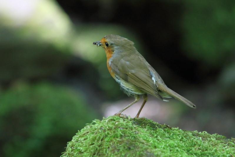 Robin, Loadpit Beck