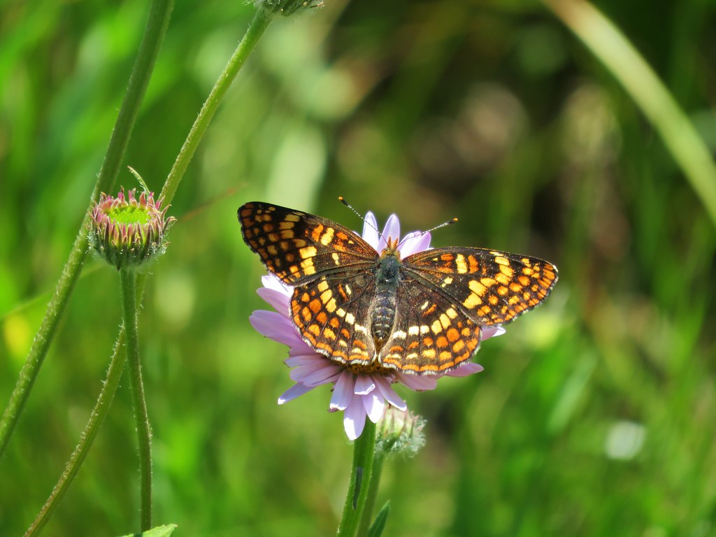 Butterfly in Grasshopper Meadow