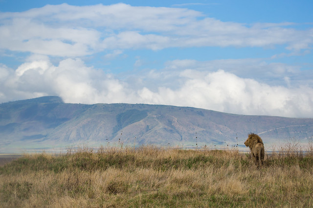 The King - Lion - Ngorongoro