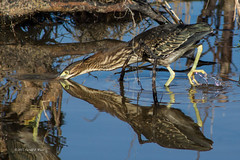 Green Heron Hunting 2994