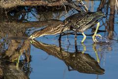 Green Heron Hunting 2994