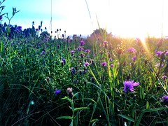 #wildflowers & the #sunset in #connecticut :ear_of_rice::cherry_blossom::sunrise: