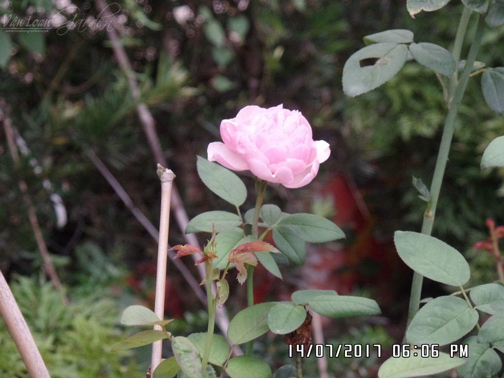 alnwick rose (2)+vuonhongvanloan.com.JPG