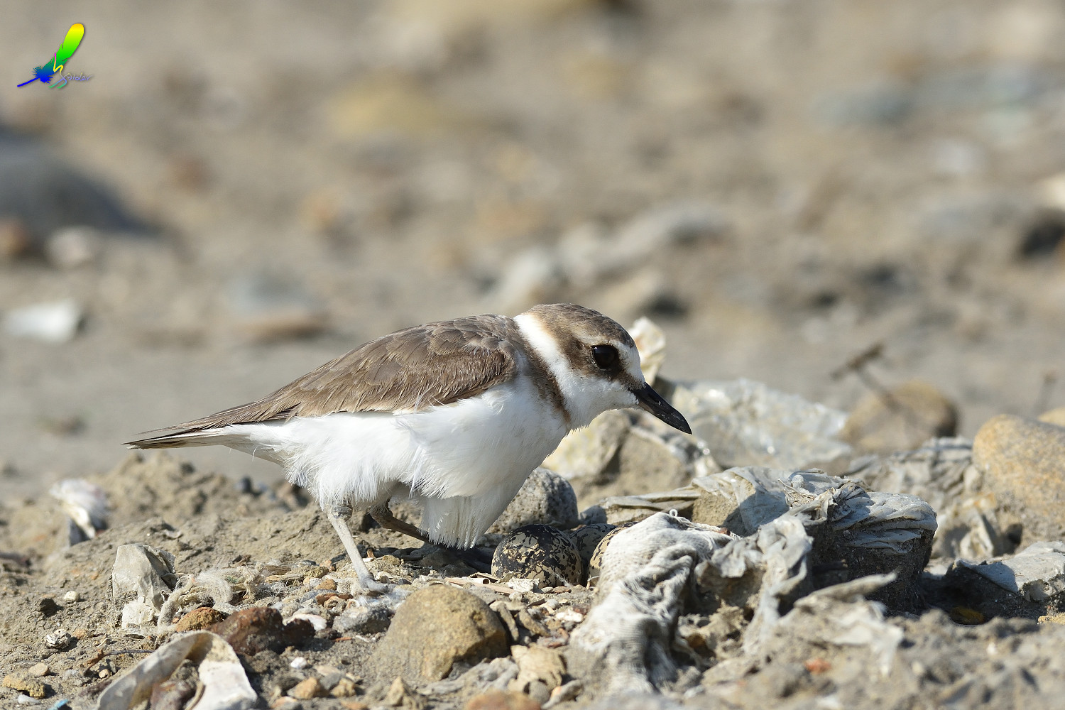 Kentish_Plover_9835