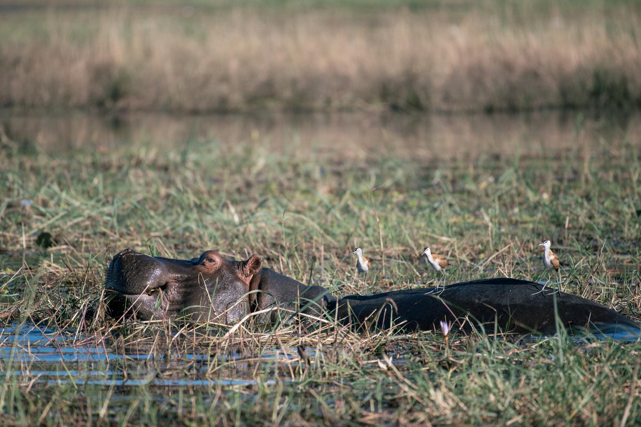 Munching hippo