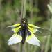 Libelloides baeticus female (Ascalaphidae - Owlflies) by Simon in the Alpujarras