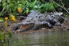 American Crocodile Tortuguero Canals Costa Rica Reptiles Croco Reptile Animals In The Wild Animal Wildlife Alligator Crocodile Animal Themes Nature One Animal Water Swamp Outdoors No People Day Tree Close-up