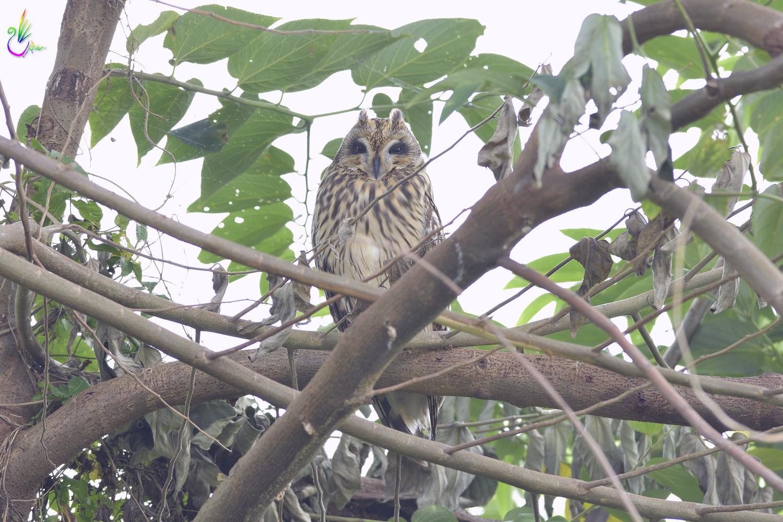 Short-eared_Owl_3162