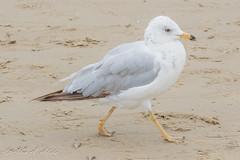 Ring-billed Gull - 2nd Year - July