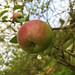 apple tree por ikarusmedia