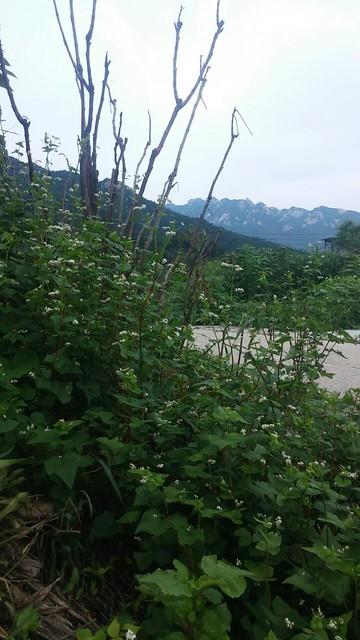 옥수수 익는 아침 | 메밀꽃