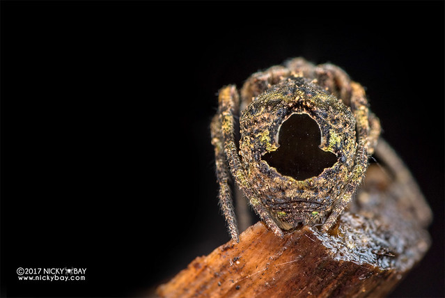 Tree-stump orb weaver (Poltys sp.) - DSC_7556