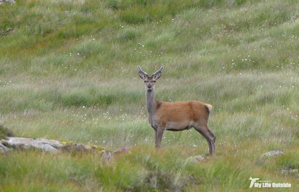 P1100269 - Red Deer on Beinn an Lochain, Isle of Mull