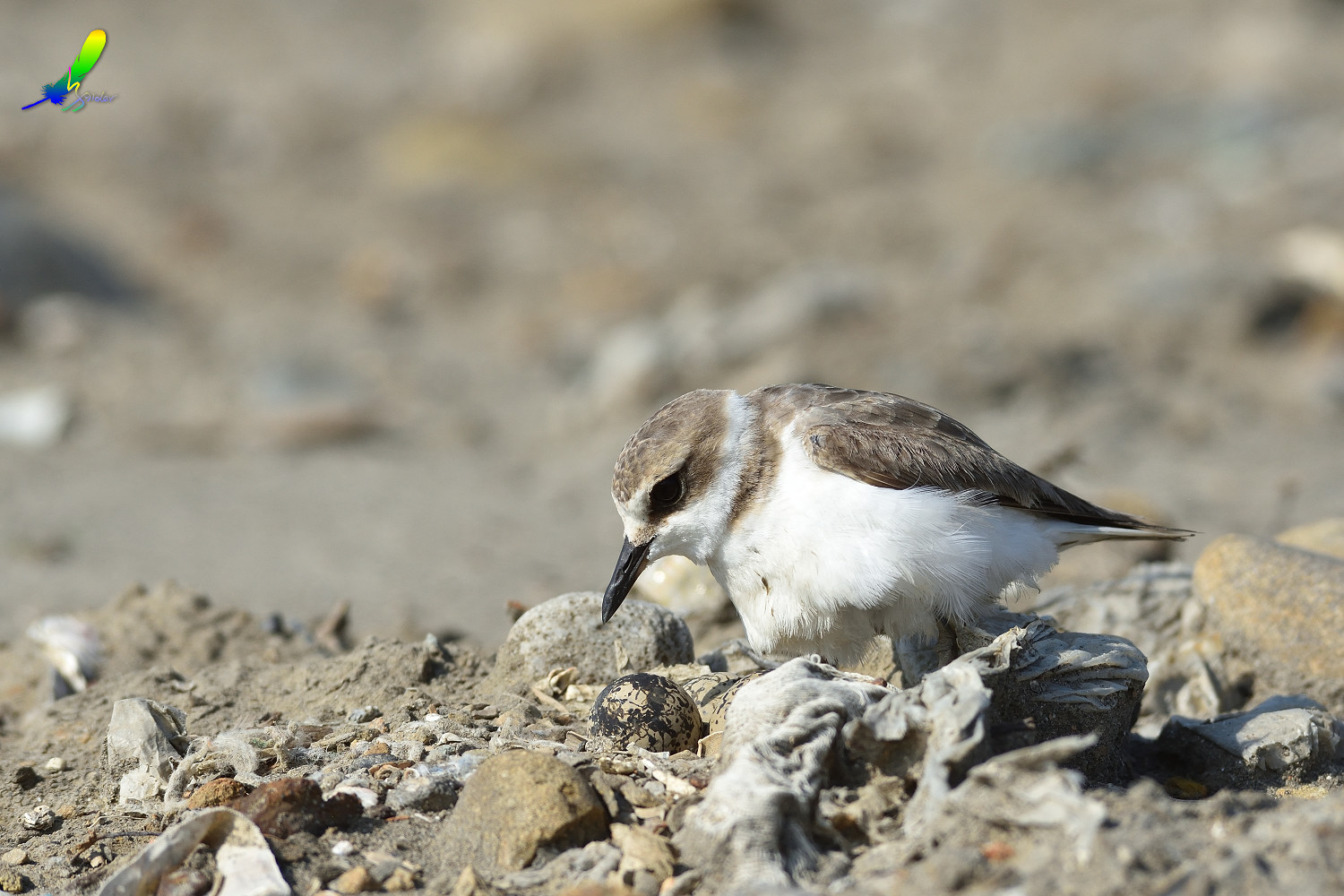 Kentish_Plover_9743