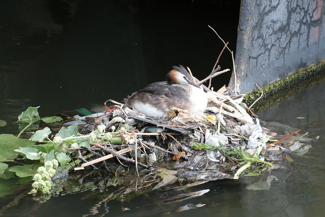 Urban great crested grebe nest