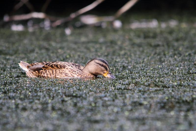 Duck on Crag Hebble Dam