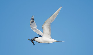 Sandwich Tern 'Sterna sandvicensis' with 'Courtship' offering
