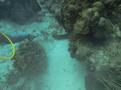 Eel taking Lion Fish bait