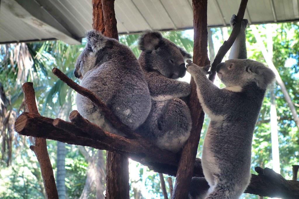 Brisbane - Lone Pine - Koalas