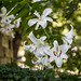 Lily / Fleur de Lys