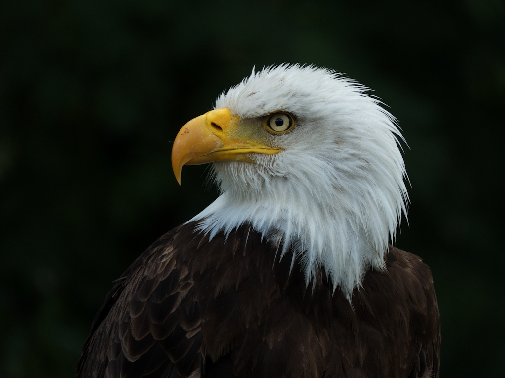 Weißkopfseeadler / Bald eagle
