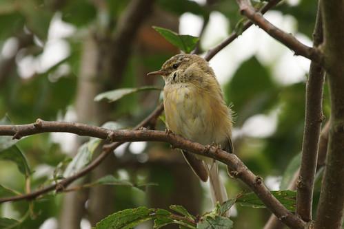 Chiffchaff (Phylloscopus collybita)