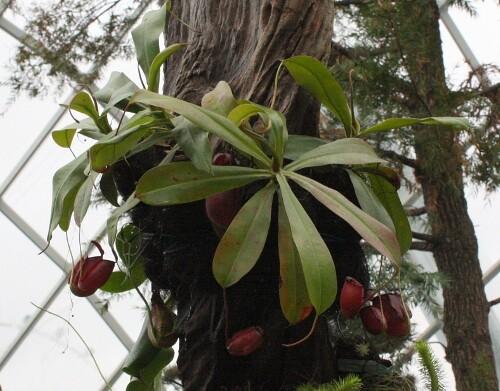 nepenthes_ampullaria_x_sibuyanensis