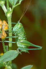 Great Green Bush-cricket (Tettigonia viridissima) nymph