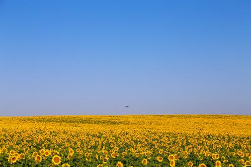 2017 SPM0679 Sunflowers seen on drive from Sevilla to Zahara de la Sierra, Spain