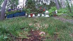 Squirrel dominates over four magpies