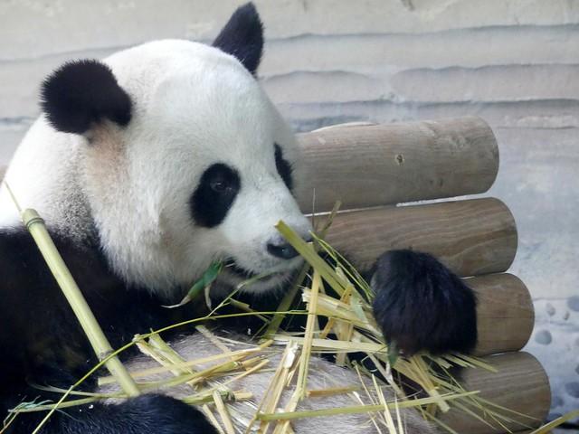 Zoo Berlin Giant Panda 'Jiao Qing'