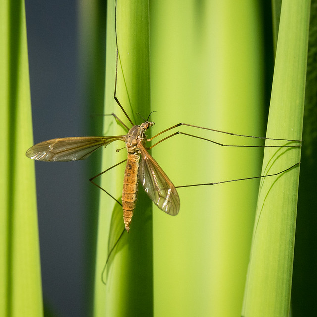 crane fly (?)