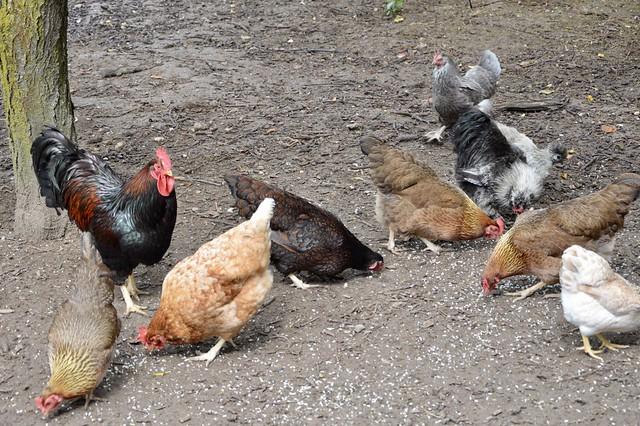 Haan met kippen