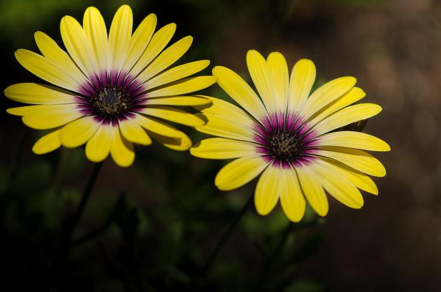 Osteospermum Blue Eyed Beauty, Nikon D7000, AF-S DX Micro Nikkor 85mm f/3.5G ED VR