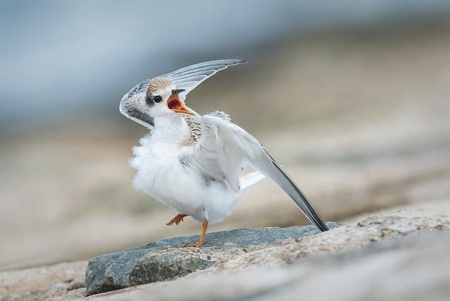 Juvenile Little Tern