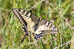 Common Swallowtail - Photo of Perrières