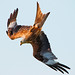 Small photo of Red Kite