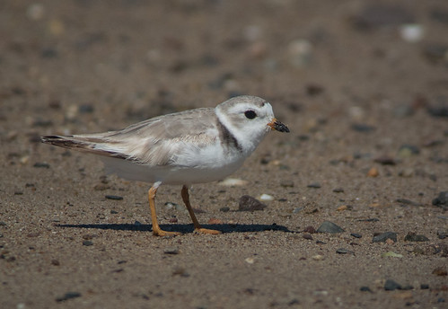 pipingplover sandypoint