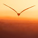 Black Skimmer in-flight by Greg Gard