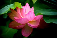 Lotus Flower in the Dark