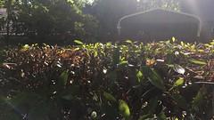 perfectly cut bush in beaverton, or