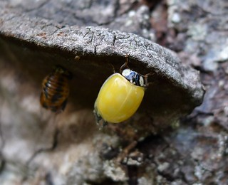 Ladybird just emerged from pupal case