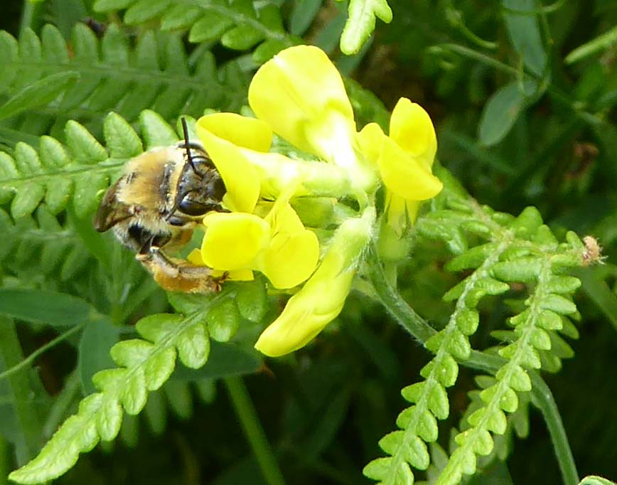 Female long-horned bee