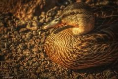Sun Bathing Mallard Duck