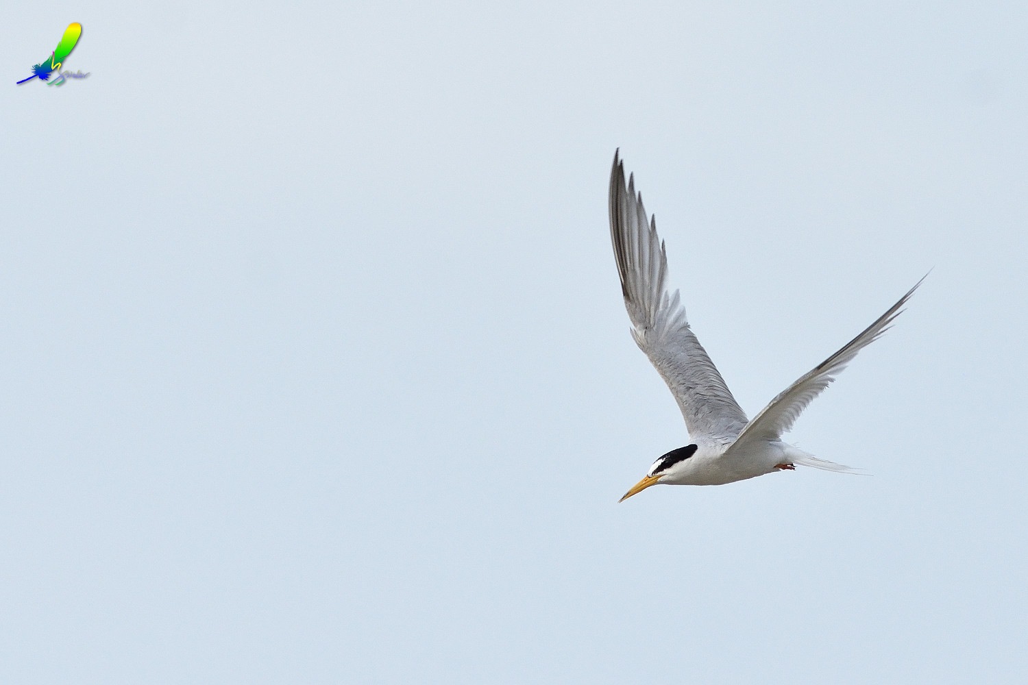 Little_Tern_9164