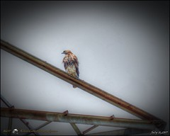 2017-07-16_P7161359_tone,start here,gram,shpmil_red-tailed hawk,clwtr