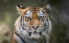 Sibirischer Tiger ´Katinka´