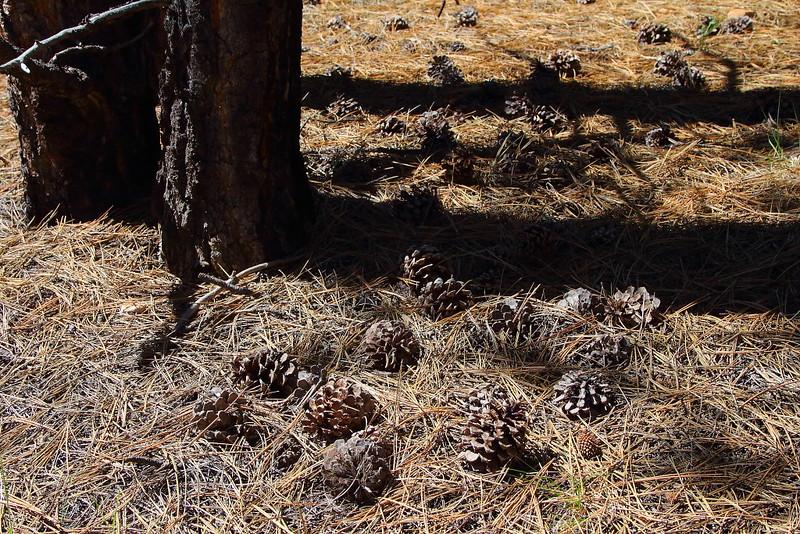 IMG_5711 Ponderosa Pine Cones