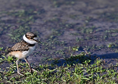 Sweet Killdeer Chick - 0639b+